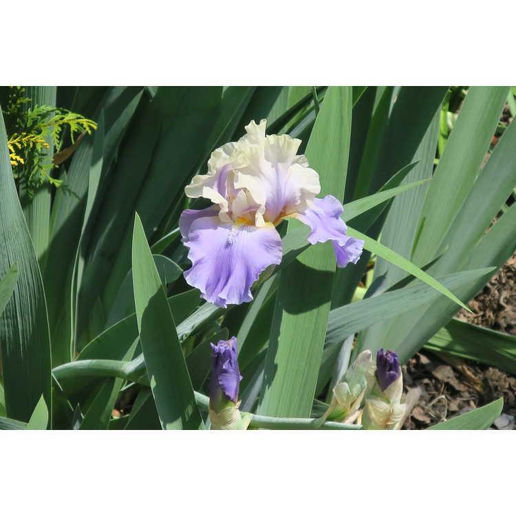 Iris In Your Dreams