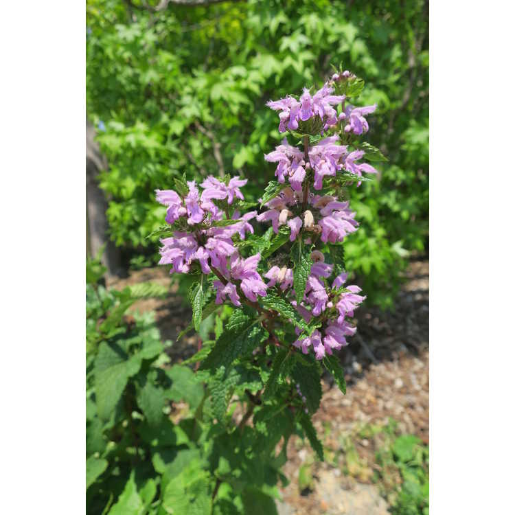 Phlomis herba-venti