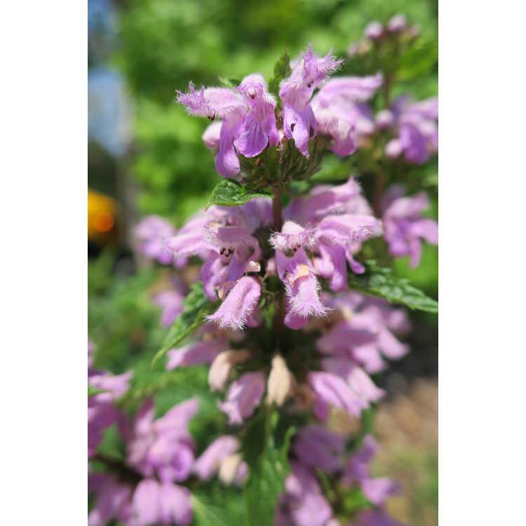 Phlomis herba-venti - Iranian Jerusalem sage