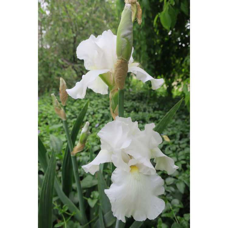 Iris Unchained Melody