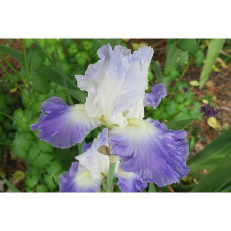 Iris 'Clarence' - bearded iris
