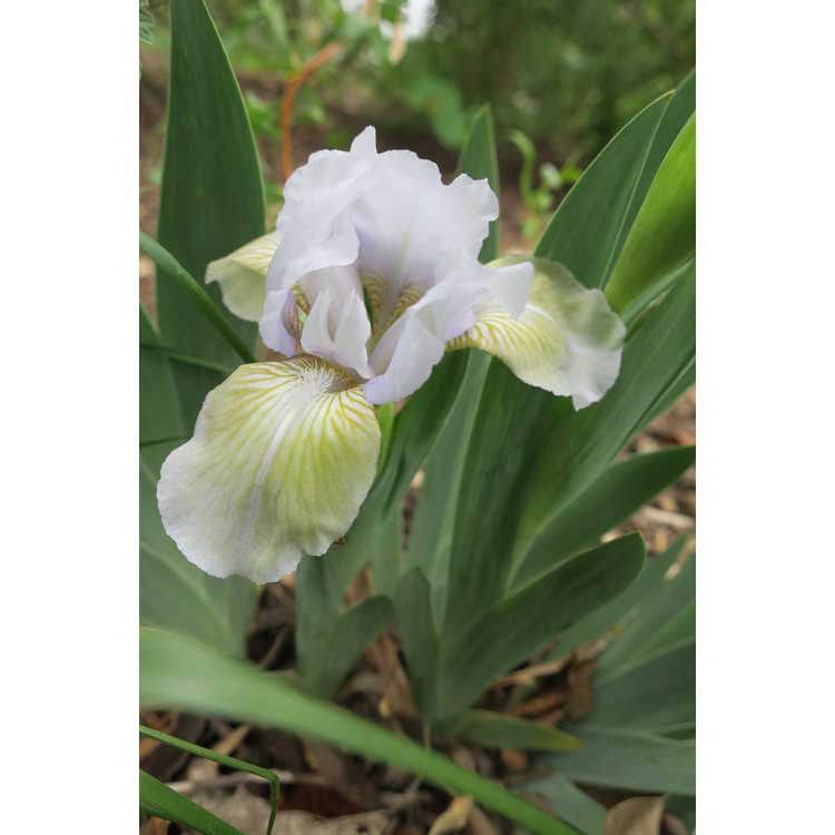 Iris Frosted Olive
