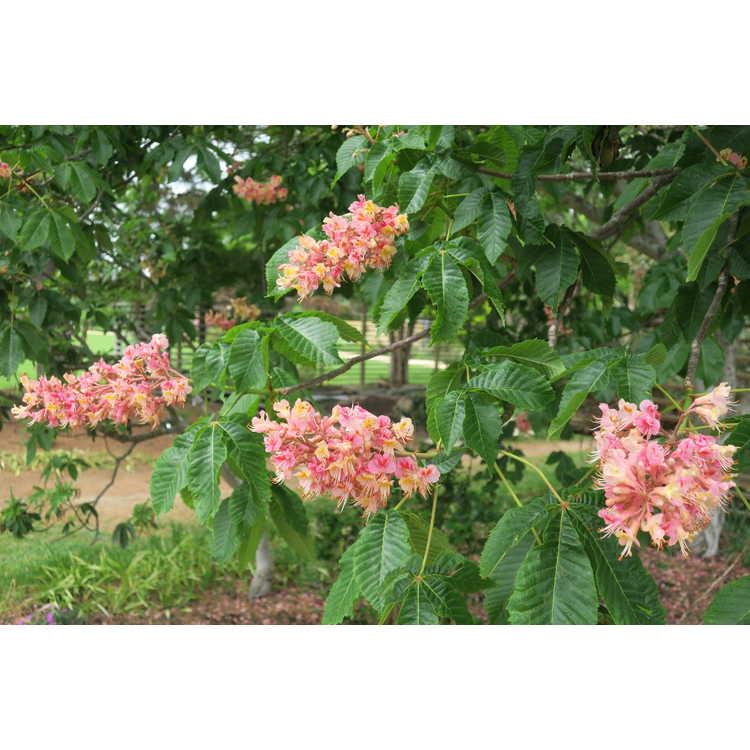Aesculus ×carnea 'Rosea' - red horse chestnut