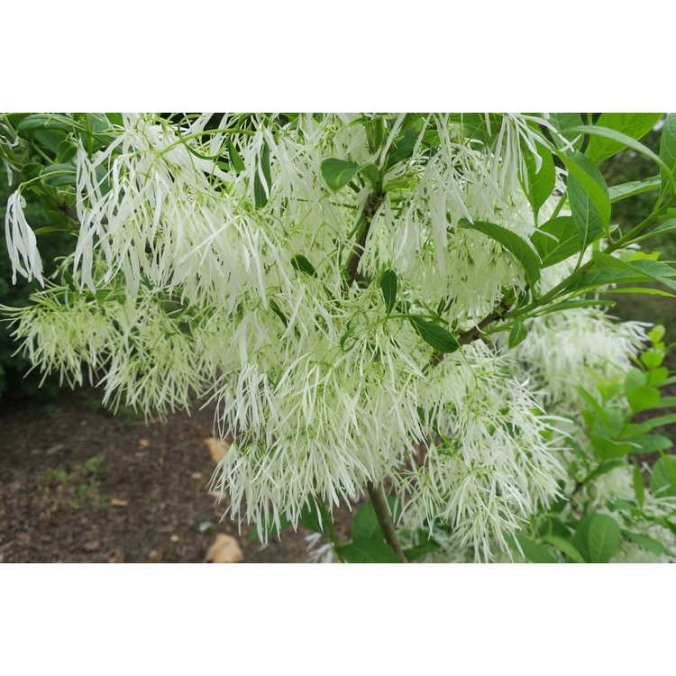 Chionanthus virginicus White Knight