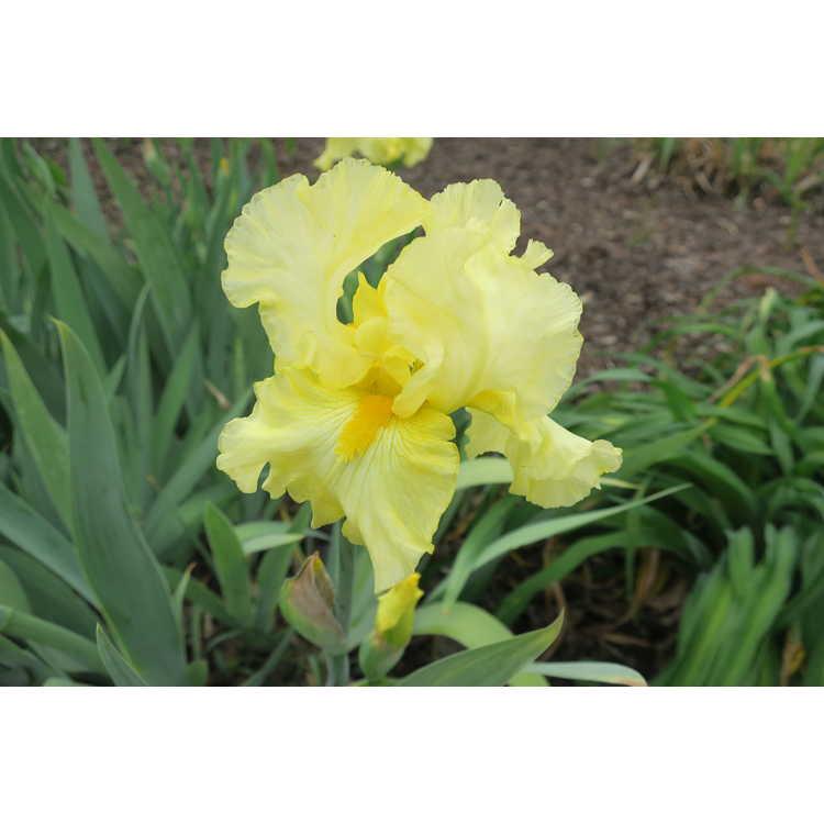 Iris 'Lilla'