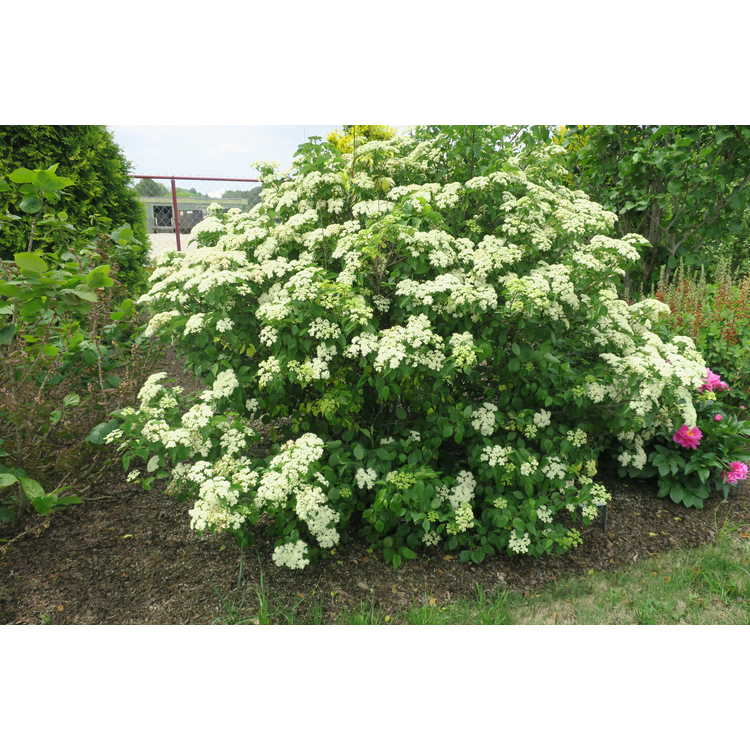 Viburnum dentatum 'Island Treasure' - variegated Southern arrowwood