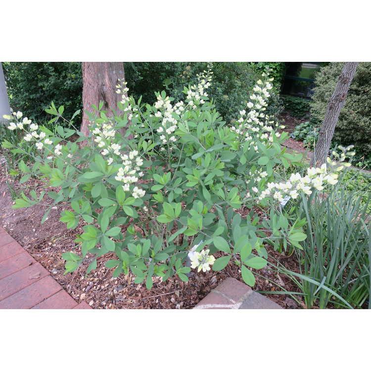 Baptisia 'Vanilla Cream' - Decadence false indigo