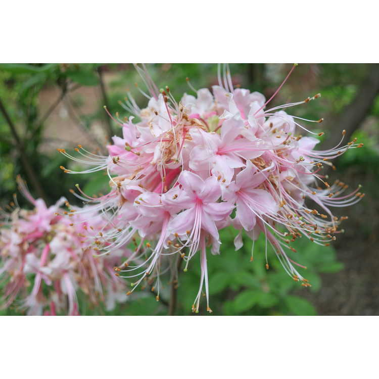 Rhododendron Camillas Blush