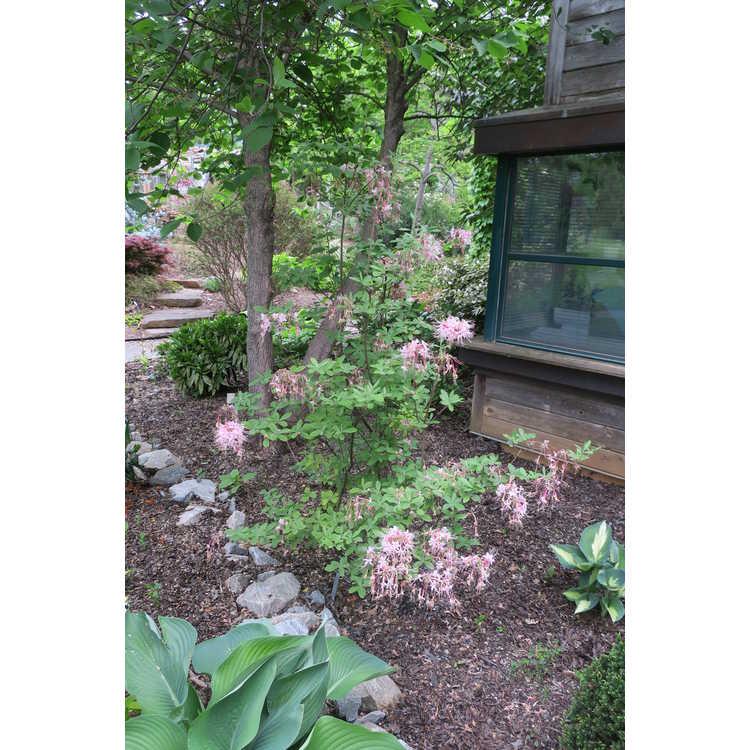 Rhododendron 'Camilla's Blush' - Piedmont azalea