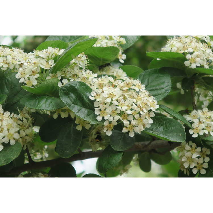 Photinia villosa 'Village Shade' - downy photinia