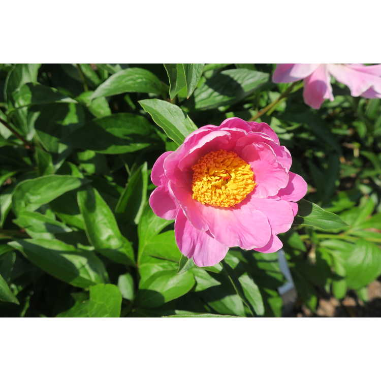 Paeonia 'Sea Shell'
