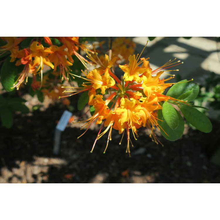 Rhododendron 'Cayenne Capers' - Aromi hybrid azalea