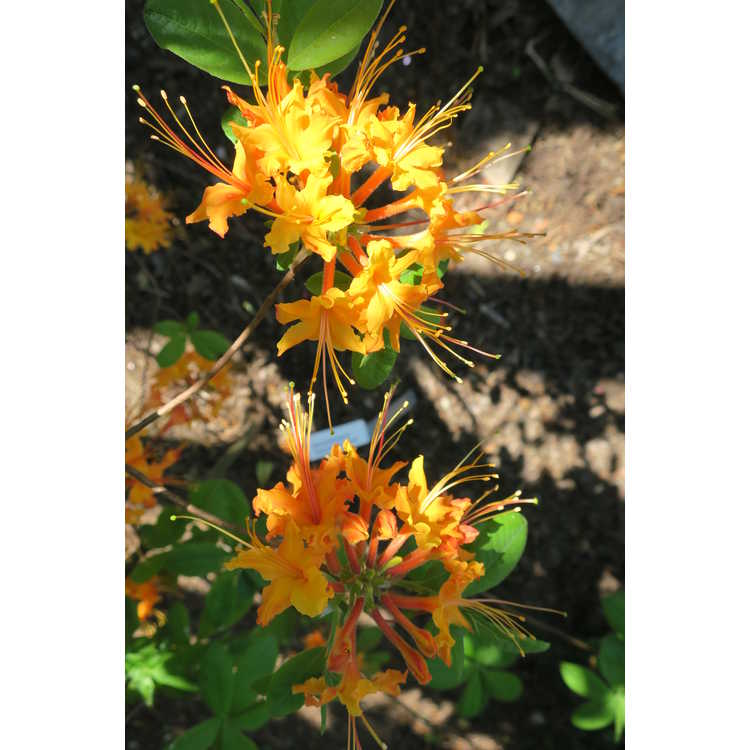 Rhododendron 'Cayenne Capers'