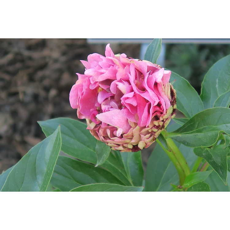 Paeonia 'The Fawn'