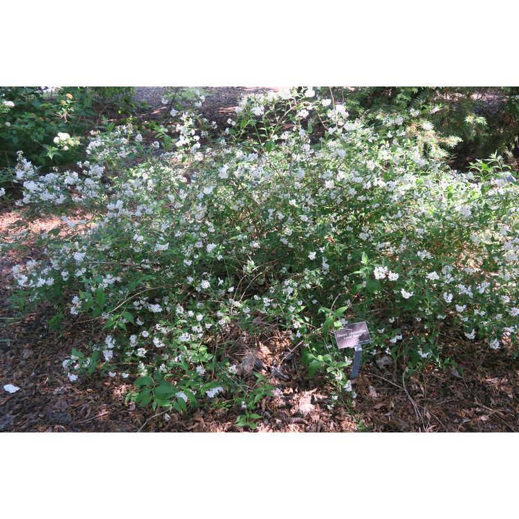 Deutzia ×kalmiiflora - hybrid deutzia