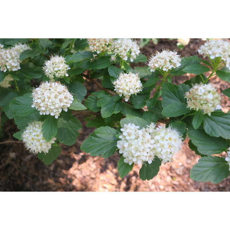 Physocarpus opulifolius Select