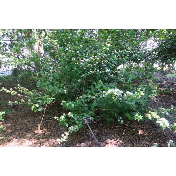 Physocarpus opulifolius 'Select' - ninebark