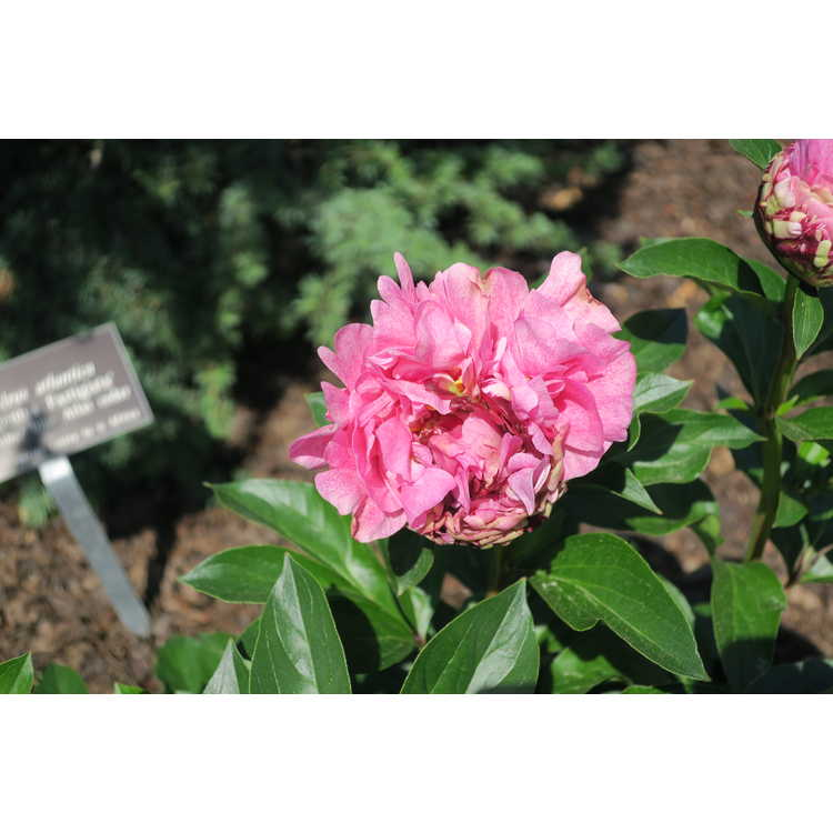 Paeonia The Fawn