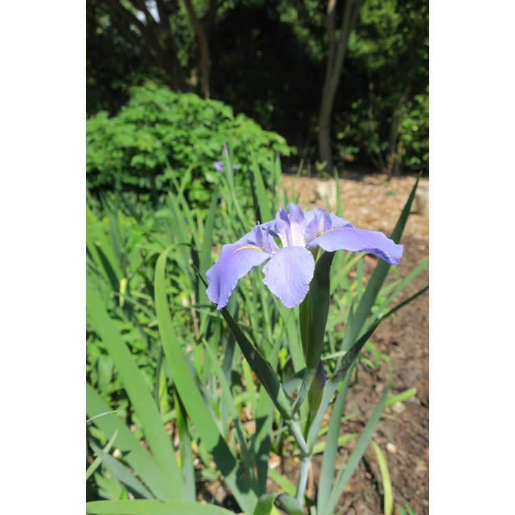 Iris 'Aeolian' - iris