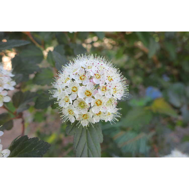Physocarpus opulifolius Mindia Coppertina