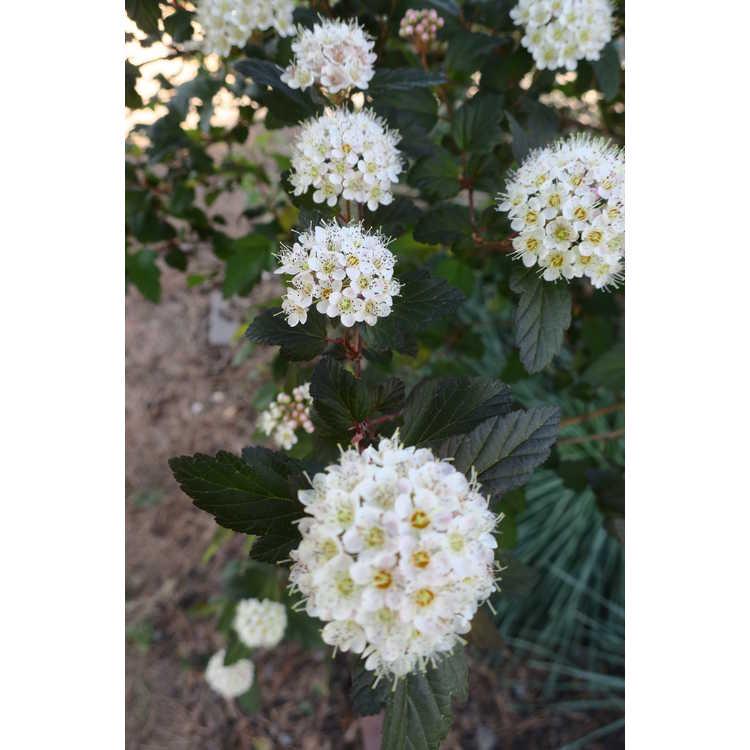 Physocarpus opulifolius Mindia Coppertina