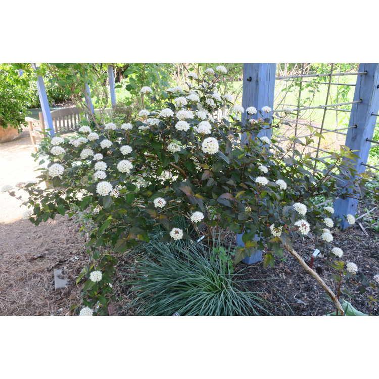 Physocarpus opulifolius 'Mindia'