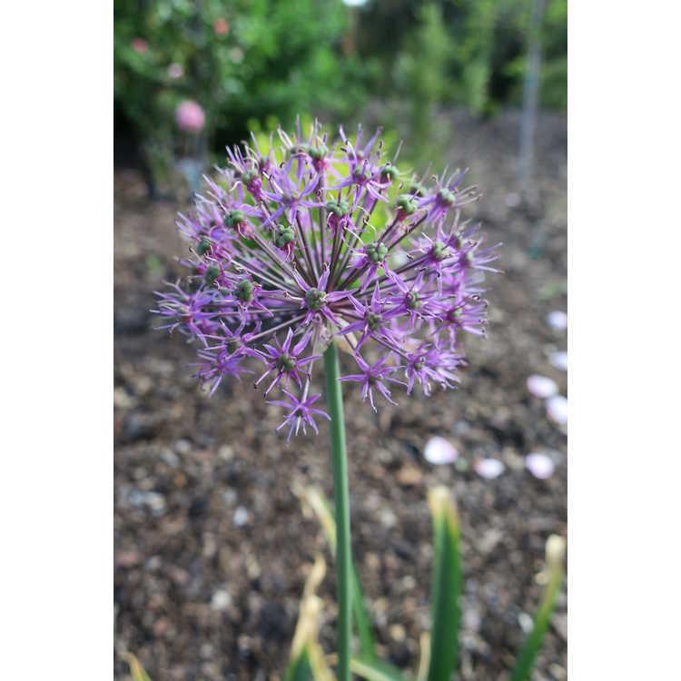 Allium jesdianum Early Emperor