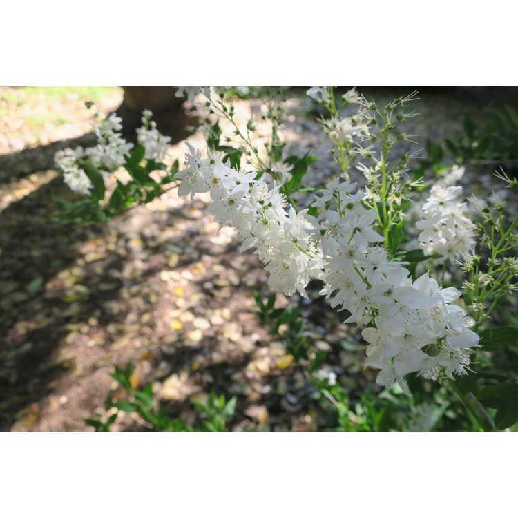 Deutzia gracilis - slender deutzia
