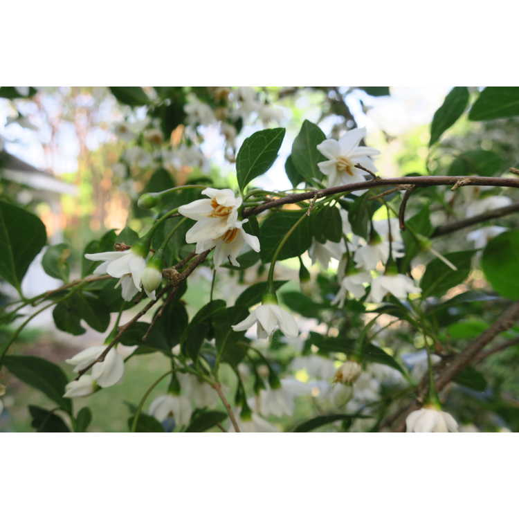 Styrax japonicus 'Crystal' - Japanese snowbell
