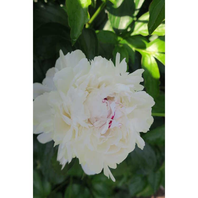 Paeonia lactiflora 'Festiva Maxima'
