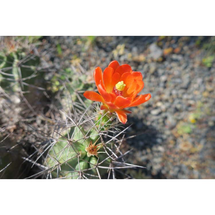Echinocereus triglochidiatus Alpine Texas form