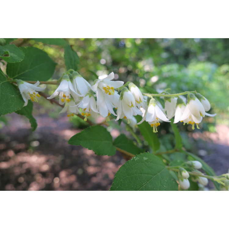 Deutzia gracilis 'Variegata' - variegated deutzia