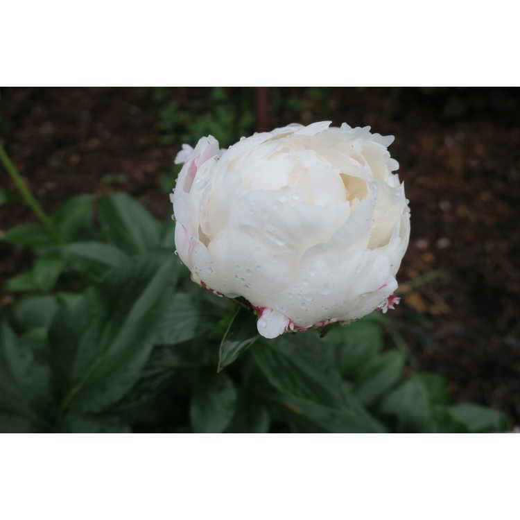 Paeonia 'White Frost'