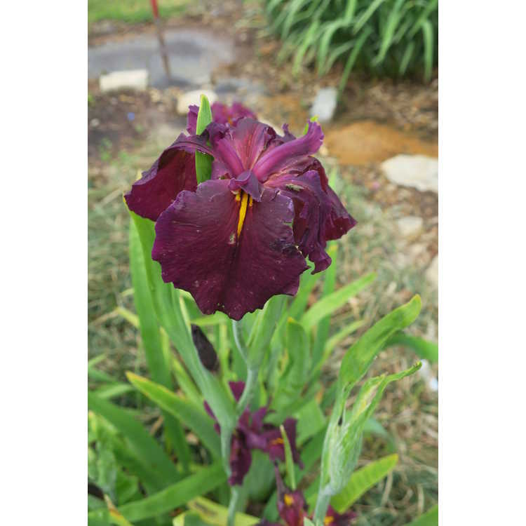 Iris 'Grace Duhon' - Louisiana iris