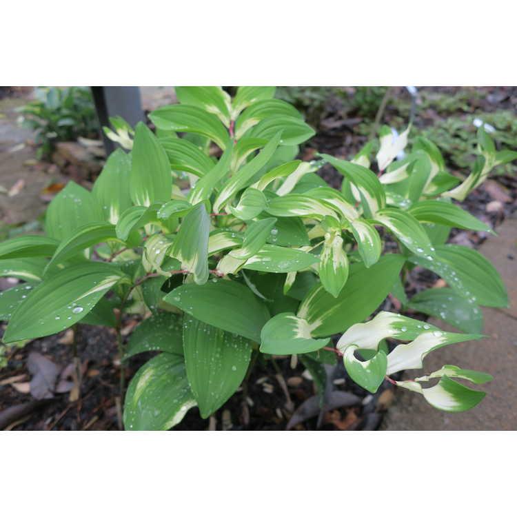 Polygonatum odoratum Byakko