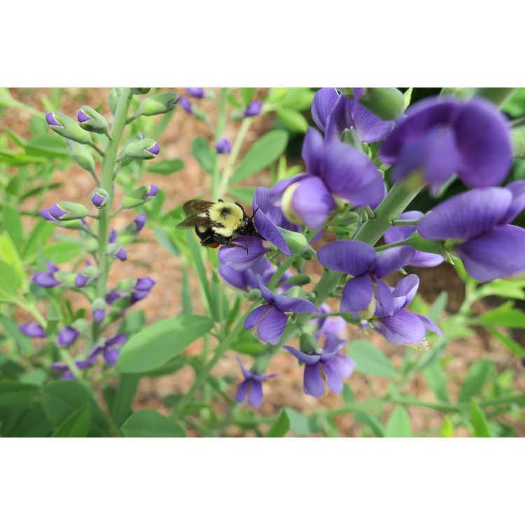 Baptisia Blueberry Sundae