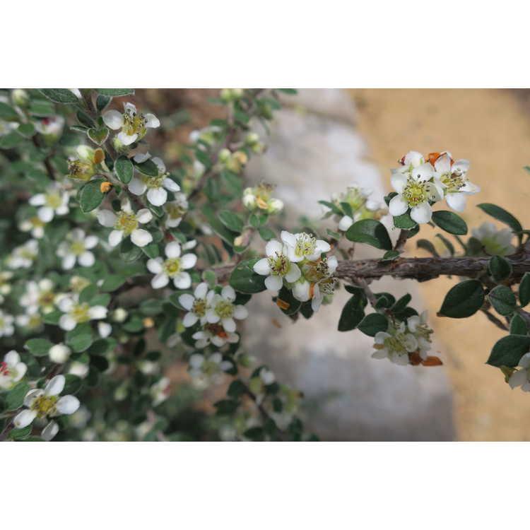 Cotoneaster glaucophyllus - silver-leaf cotoneaster