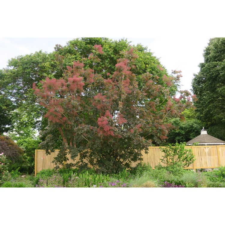 Cotinus 'Grace' - purple smoketree