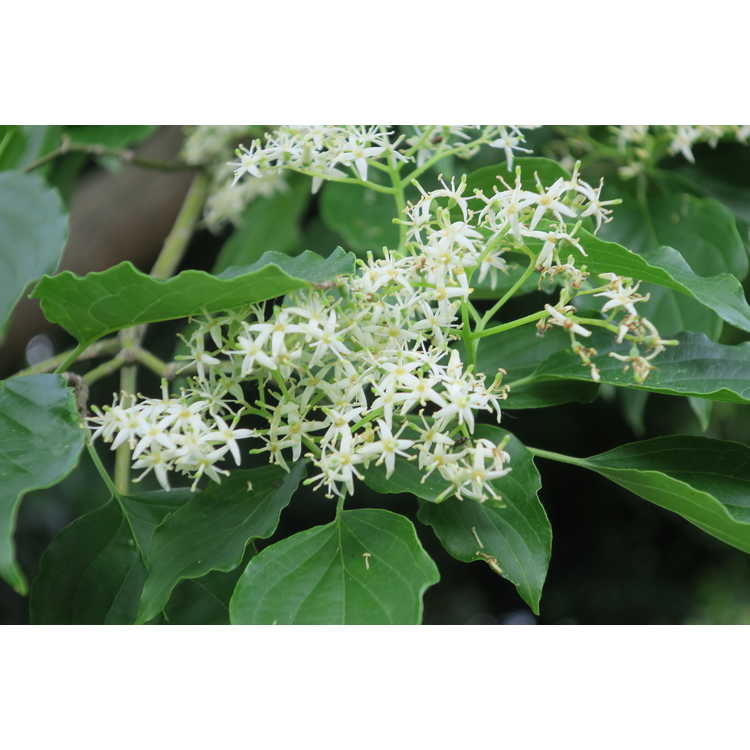 Cornus australis - Black Sea dogwood