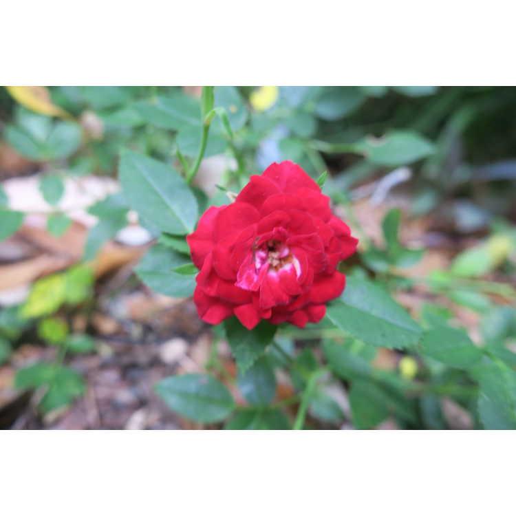 Rosa 'Fryclimbdown' - Crimson Cascade climbing rose
