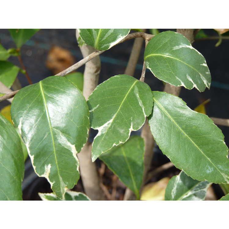 Camellia japonica 'Debutante Benten'