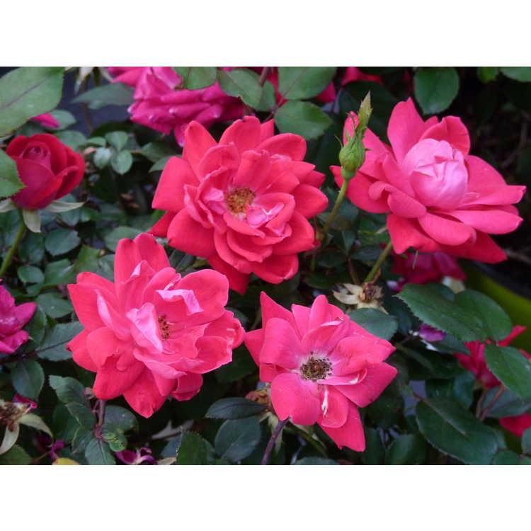 Rosa 'Radtko' - Double Knock Out shrub rose