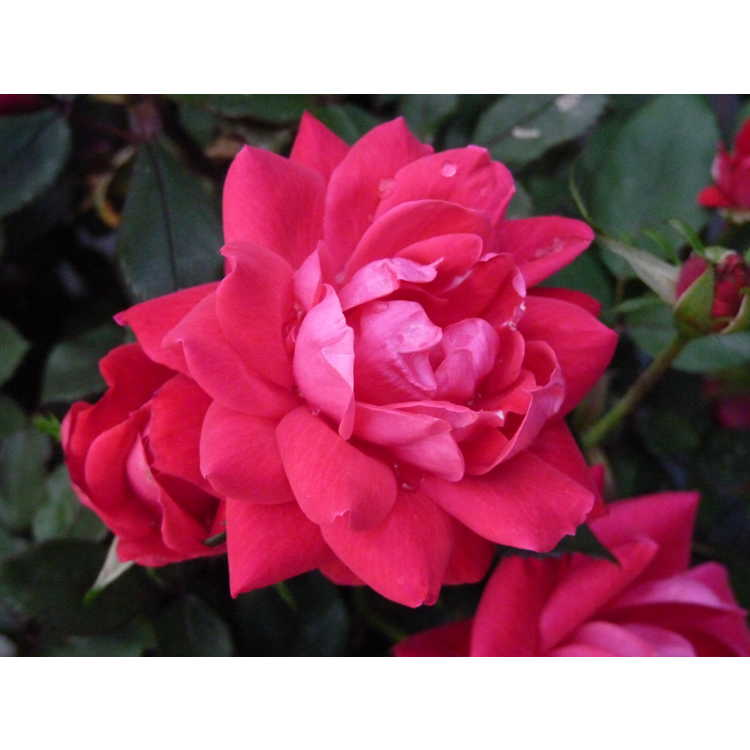 Rosa 'Radtko'