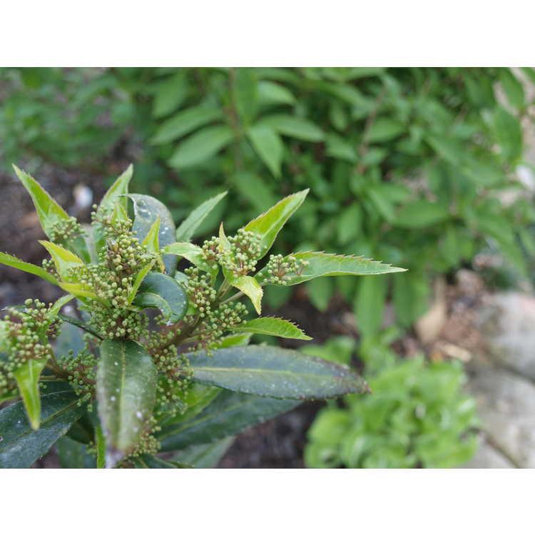 Helwingia (male)