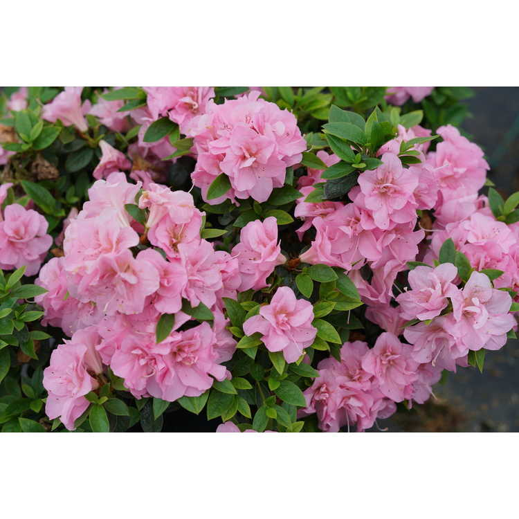 Rhododendron 'Ncrx3'