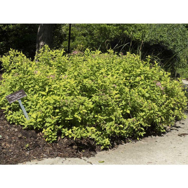 Spiraea japonica 'Abigail' - Japanese spirea