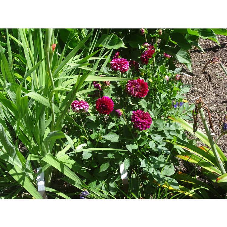 Dahlia - Dalina Maxi Colima garden dahlia