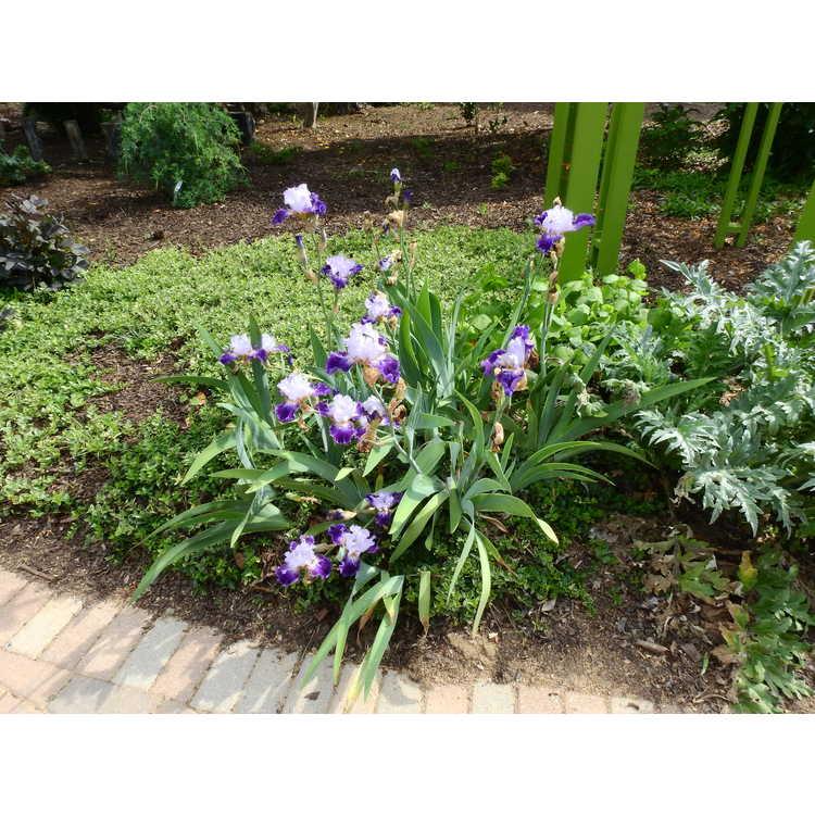 Iris 'Tea Service' - tall bearded iris