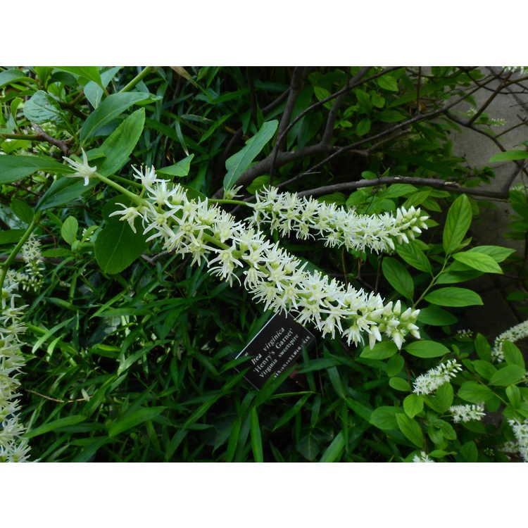 Itea virginica 'Henry's Garnet' - Virginia sweetspire