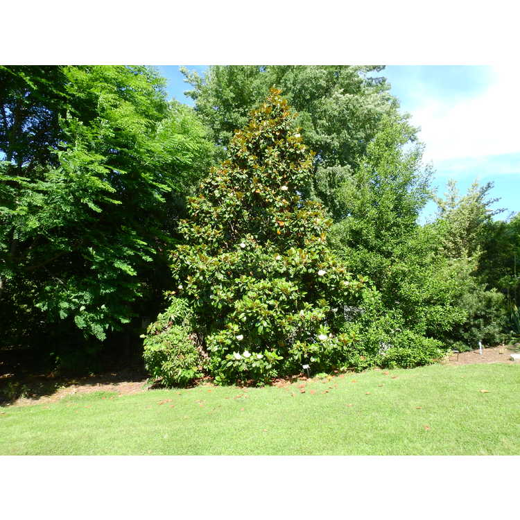 Magnolia grandiflora Southern Charm Teddy Bear